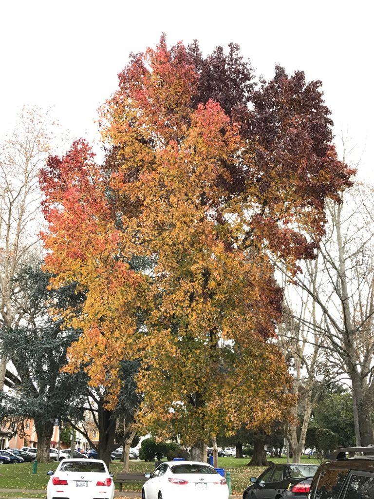 Rainbow leaves on Sonoma Plaza